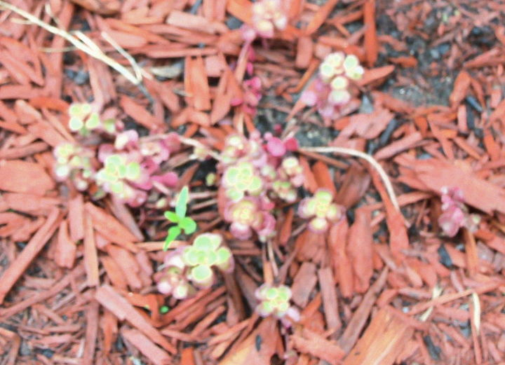 The red creeping sedum is trying to hang on.