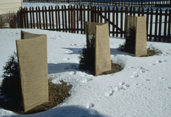 how do you protect your plants and shrubs from winter damage, gardening