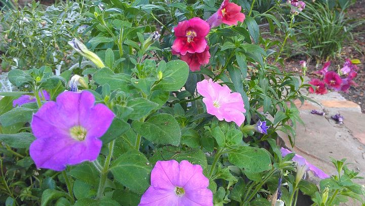 The petunias with the snapdragons in back