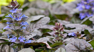 could use some help identifying this little plant, flowers, gardening, Ajuga