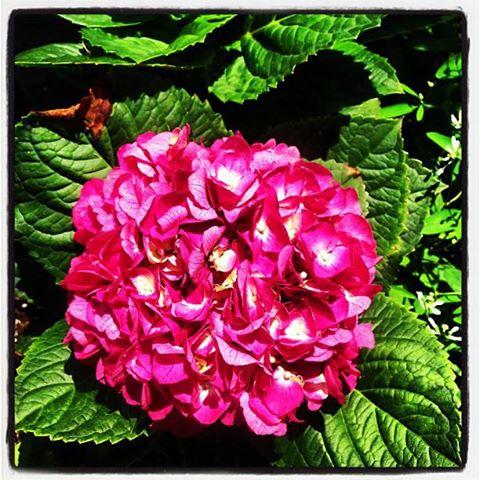 curb appeal curbappeal, flowers, gardening, Hydrangeas in pots