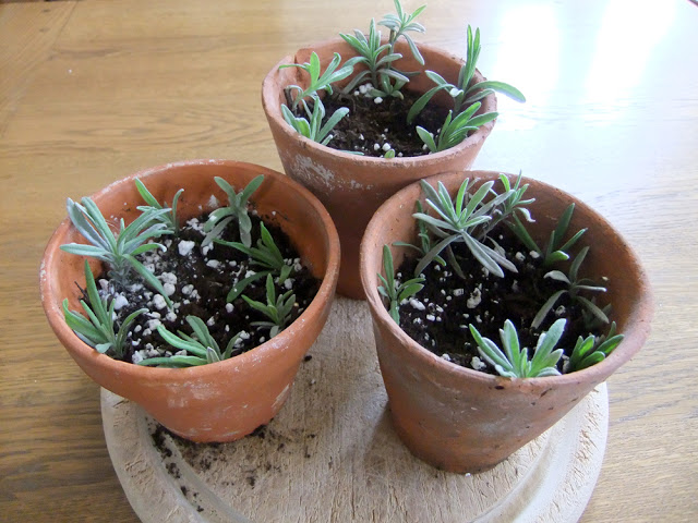 plants for free how to propagate lavender, gardening