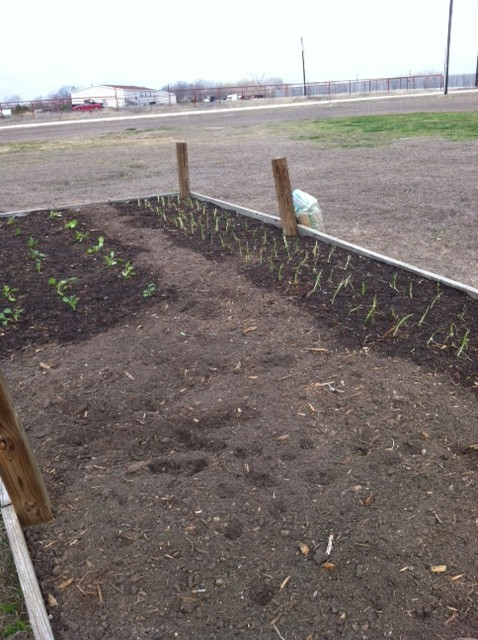 Green and Red onions planted 2/18/2013