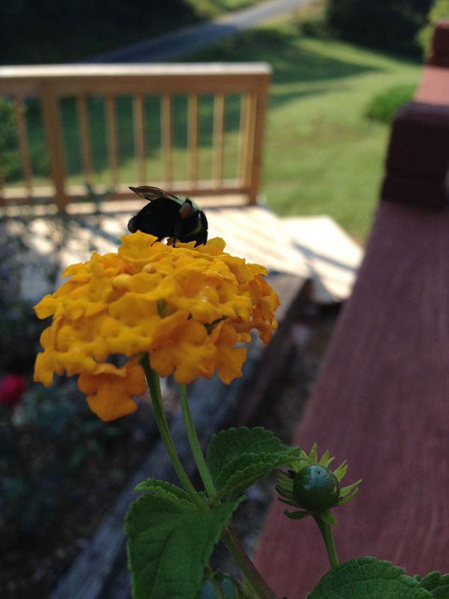 lantana springs to life a pollinator favorite, container gardening, flowers, gardening, pets animals