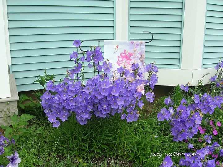 Campanula ~ such pretty blue bellflowers!