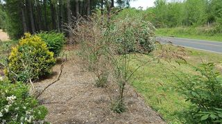 , BUTTERFLY BUSHES NOT TRIMMED