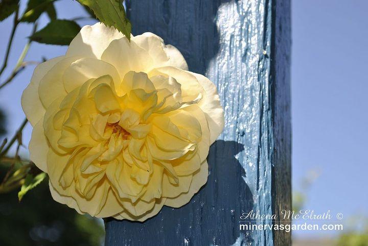 late spring garden walk at minerva s garden part 2 roses, gardening