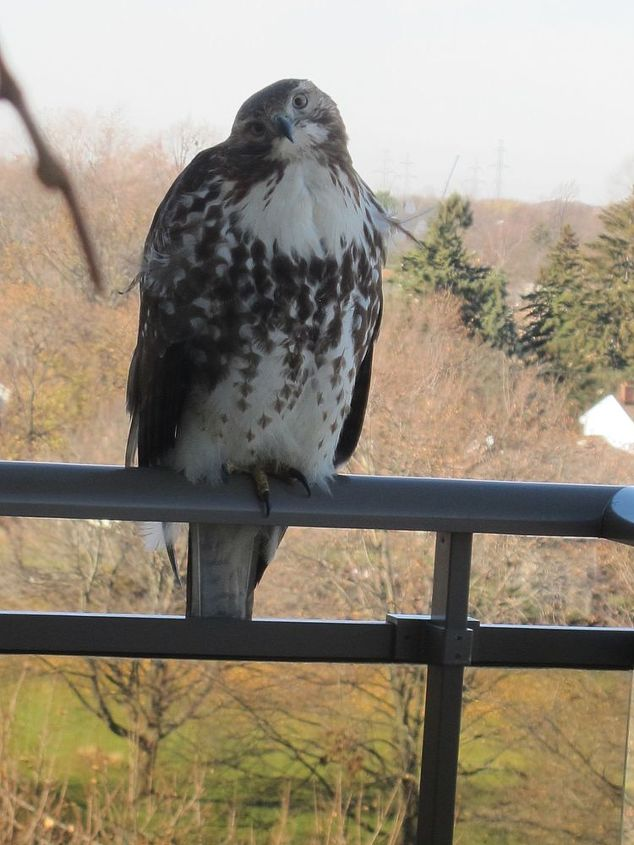 is this a peregrine falcon, outdoor living, pets animals, Went out on balcony to take this one He didn t move just tilted his head to look at me