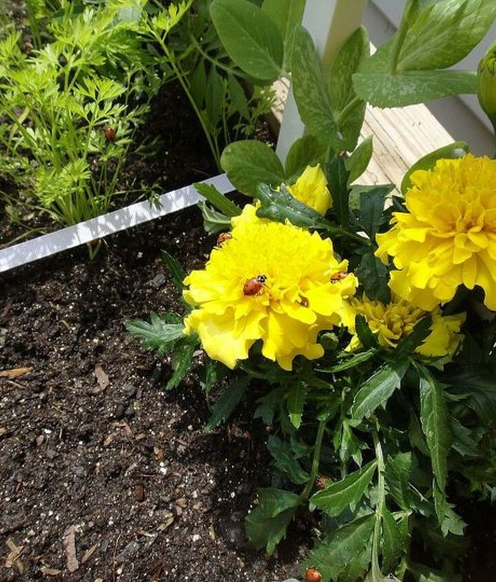 6. Scented marigolds keep the soil free of nematodes and attract beneficial insects like ladybugs.