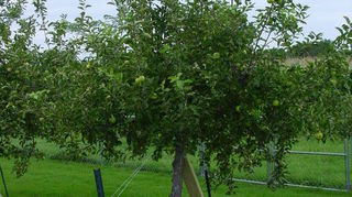 , Re staked apple tree