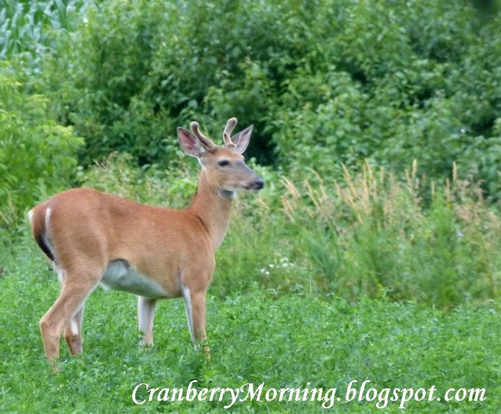 q deer birds and patio doors to grid or not to grid, doors, pets animals, Walking in the alfalfa field near our house