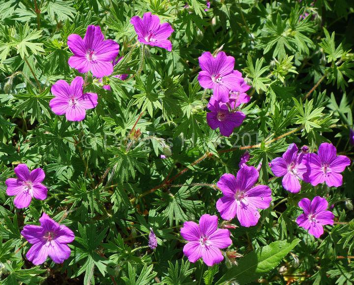 five easy care perennials that sip water, flowers, gardening, perennials