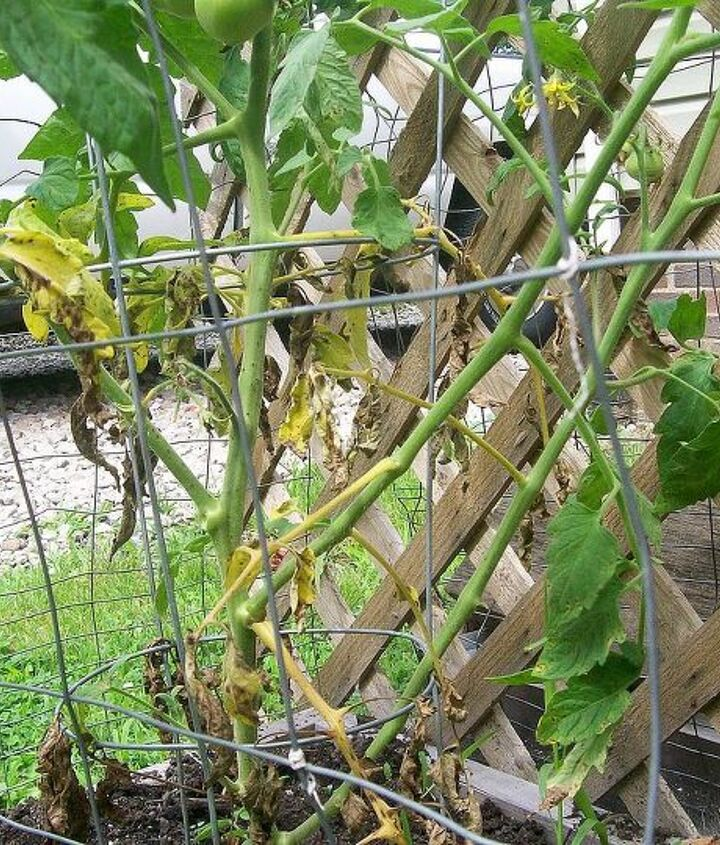q why are my tomato plants dying, gardening