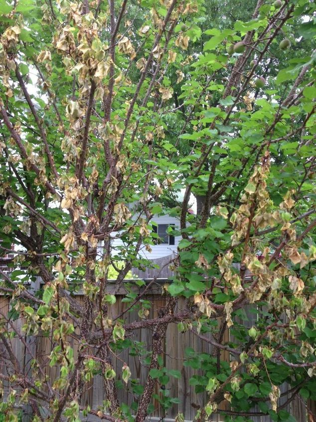 Dying branches on apricot tree