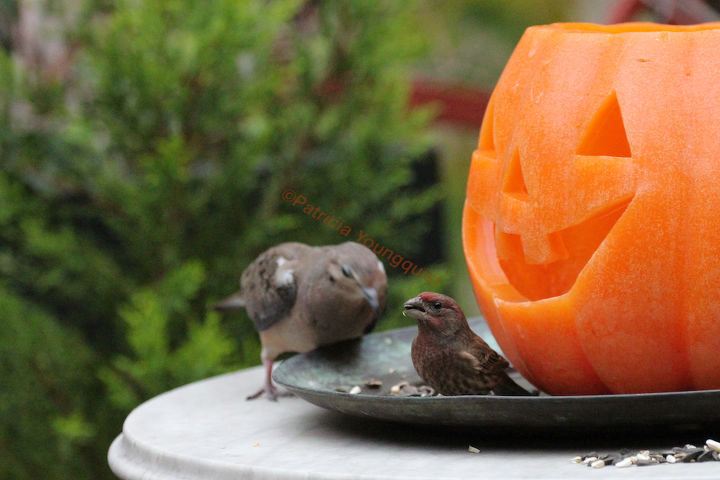 One of my Jack-O-Lanterns listened in on a convo with a male house finch and a mourning dove!  INFO on Finches @ http://bit.ly/RJiRfI AND @ http://bit.ly/VemJsF