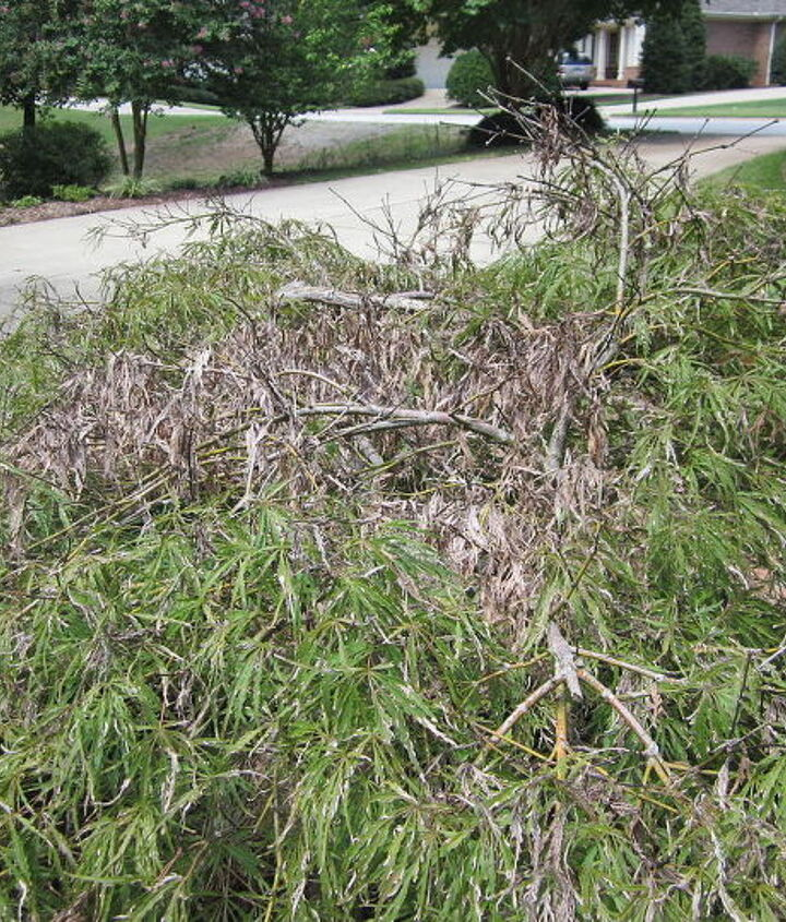 what is wrong with this weeping cherry, gardening