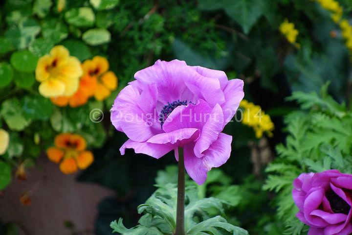 """Anemone coronaria """"Mona Lisa,"""" poppy-flowered"""