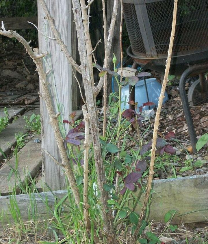 On of our rose bushes after the deer had their meal. ;(