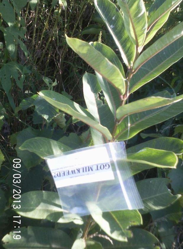 milkweed and monarchs, gardening