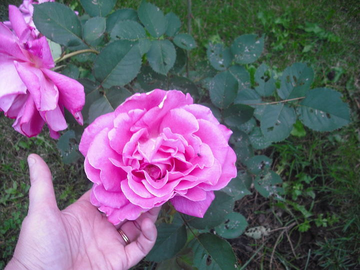 These roses were so beautiful, full and huge, u can c by my hand here