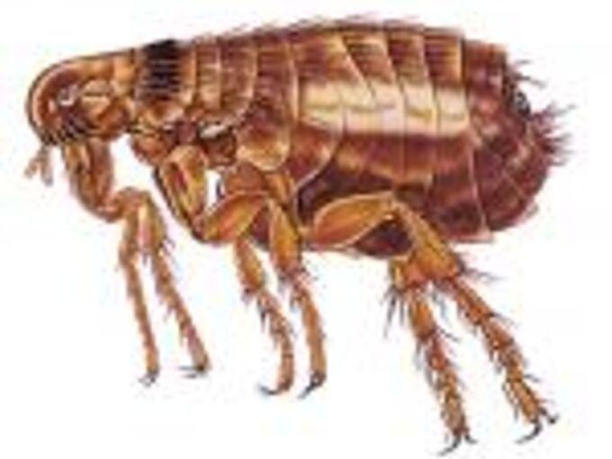 fleas, pest control, Flea