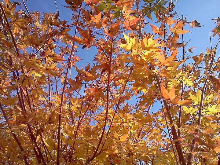 OK so now ya'll have to know this is my favorite tree for year round interest! Coral Bark Maple (Sango KaKu)