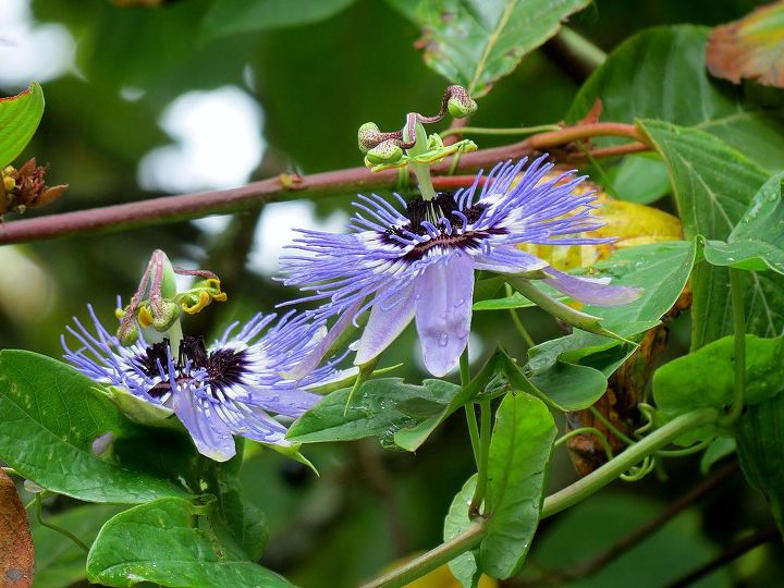 Passion flower vine in the Cascara tree