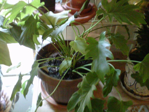 q can someone identify this plant for me, gardening, small indoor plant