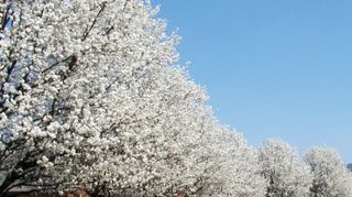 , Bradford pear I went to my local Home Depot and this is the name theu gave me Such a lovey tree this time of year Looks like snow when spring is on it s way