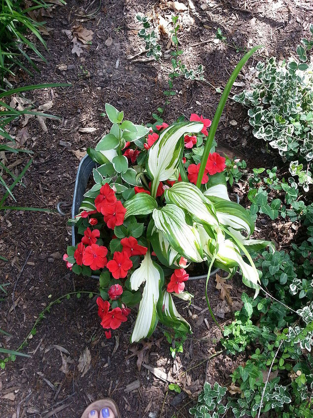 hostas are not just for the ground, container gardening, flowers, gardening