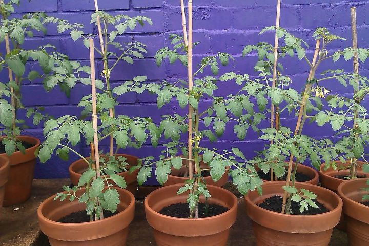 small tomatoes growing slowly, I'm looking for shelf units and some vintage accessories to hand on this purple wall ..