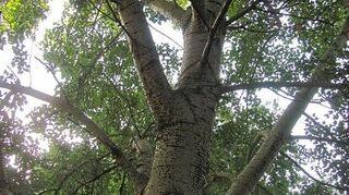 , The tree
