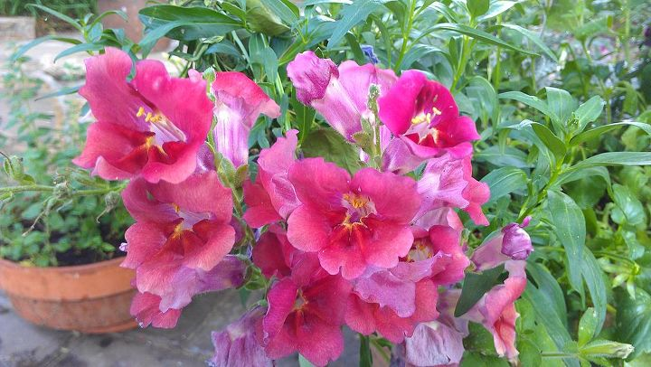 A close-up of the snapdragon flowers (these are my favorites)