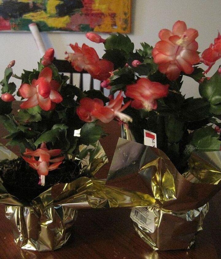 "My new Christmas Cactuses       ""Sunset Dancer"""