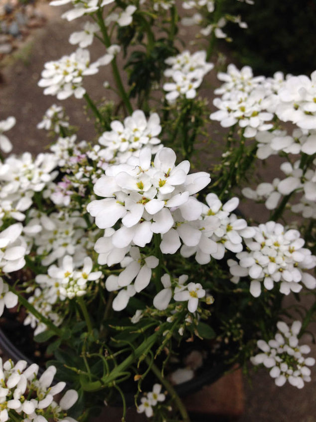 Candytuft for a white selection