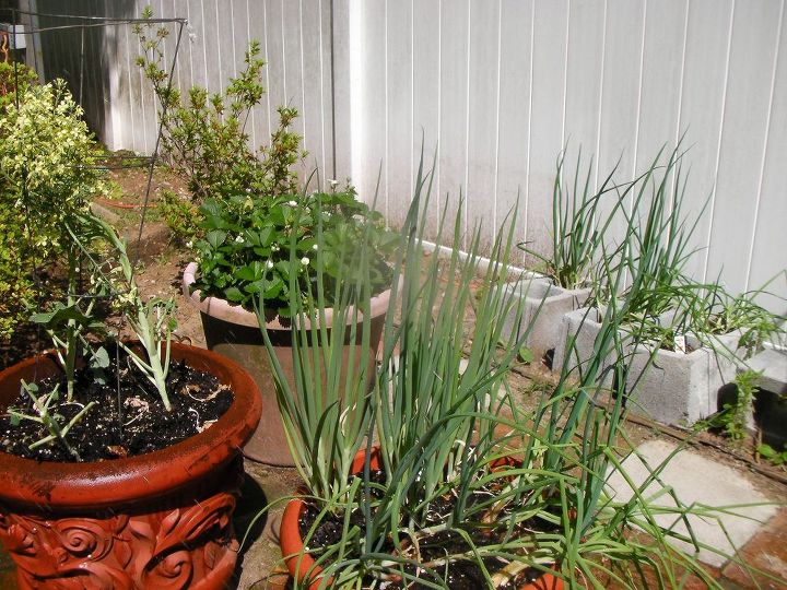 my yearly attempt at growing veggies on lavender hill, gardening