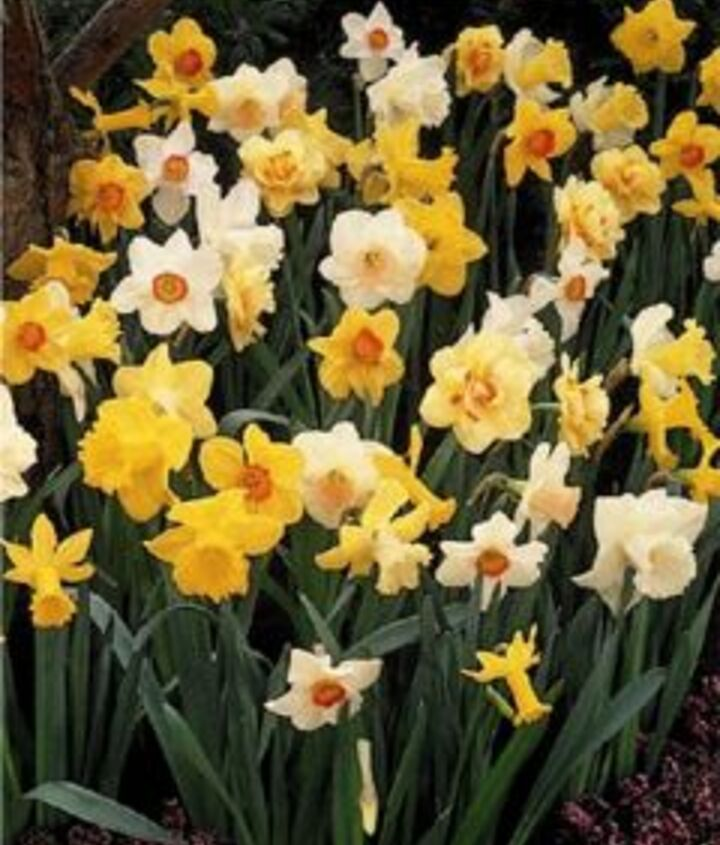 """""""Naturalizing"""" mixtures are a great way to save on bulbs. (Photo via John Scheepers: www.johnscheepers.com)"""