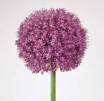 Allium are a great way to add exclamation points to the garden and are generally deer-resistant. (Photo via McClure and Zimmerman: www.mzbulb.com)