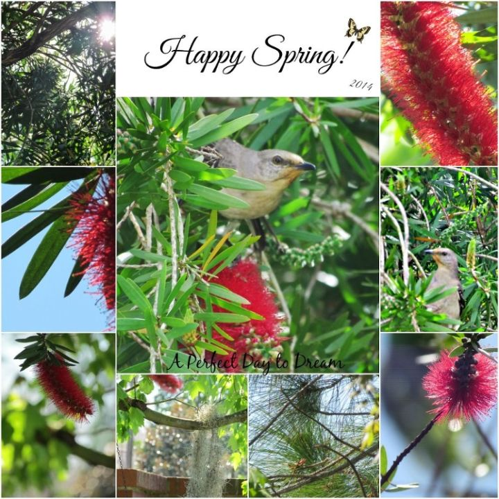 bottle brush tree and little birdies happy spring, gardening, wildlife animals, See the little birdie peeking it s head out I wish I could have captured it better
