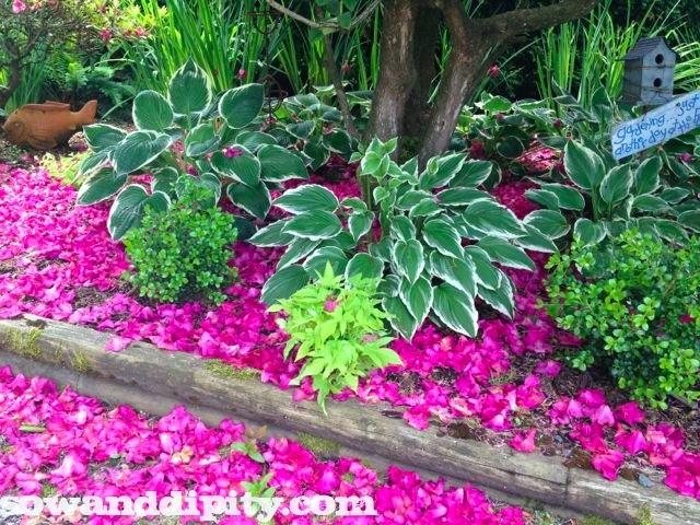 Rhodo flowers create a pink carpet