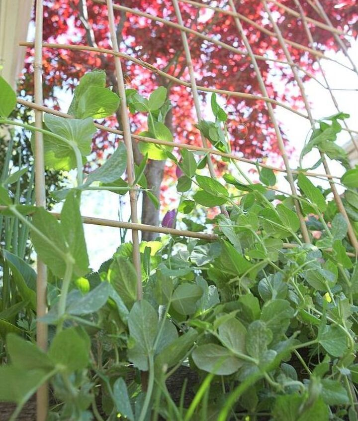 Reach for the sky peas! That trellis is sturdy enough to hold you all.