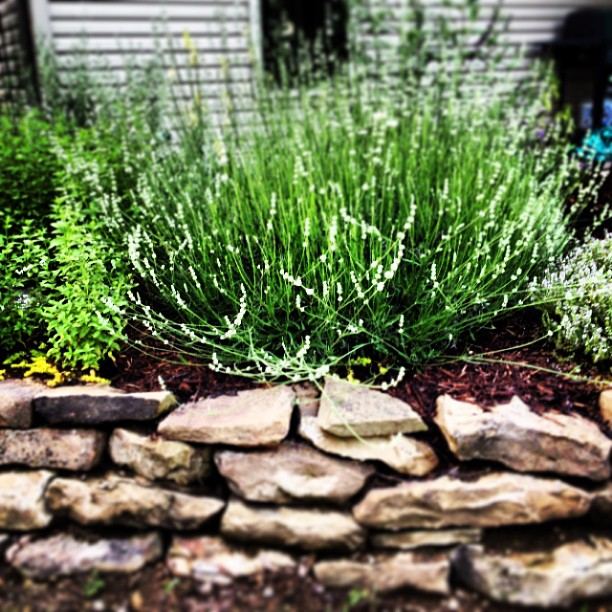 White lavender is huge this year, finally!