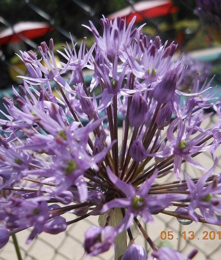 my spring garden flowers, flowers, gardening
