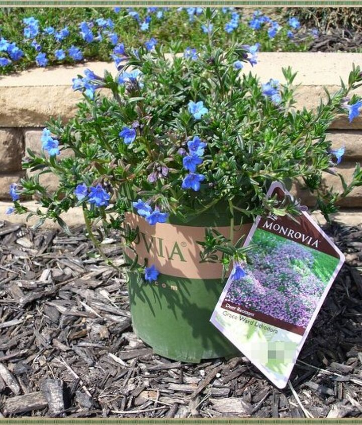 This is what a typical Lithodora plant will look like at the nursery. You can read lots of specifics about this plant in my blog post.