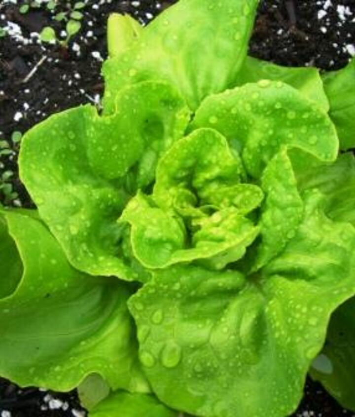Lettuce growing in a raised bed