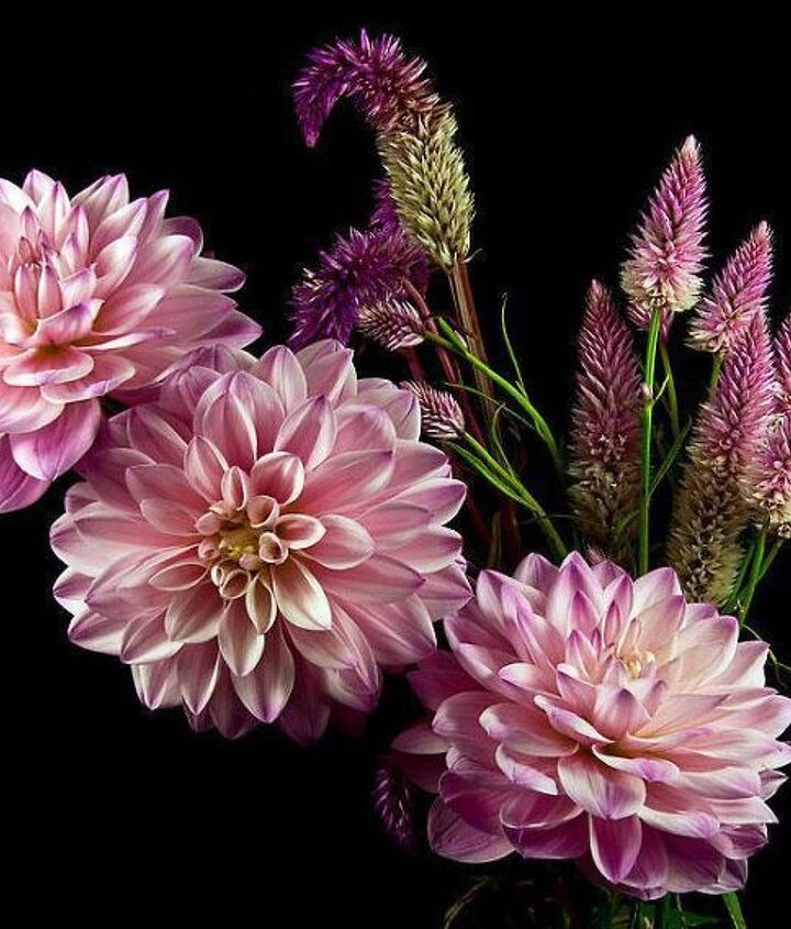 q what are the flowers behind the dahlias in this photo, flowers, gardening