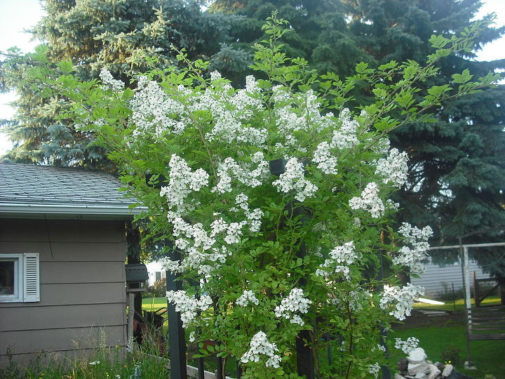 The wild white rose flowers resemble a lilac somewhat, and smelled so pretty