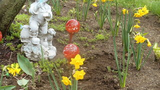 transplanted perennials from old home to new yard weed control, flowers, gardening, landscape, perennial, Circle of Multibloom daffodilles