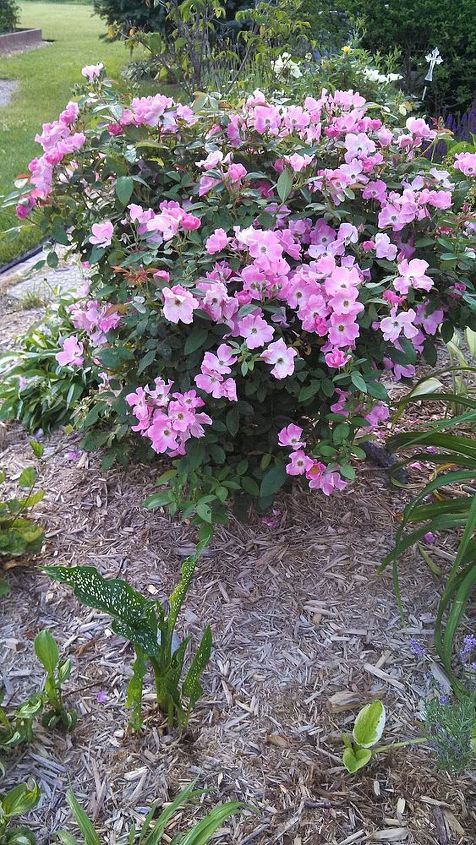 Nearly Wild Pink Shrub Rose, hardy til zone 4, this shrub rose, will brighten your garden all-season long!