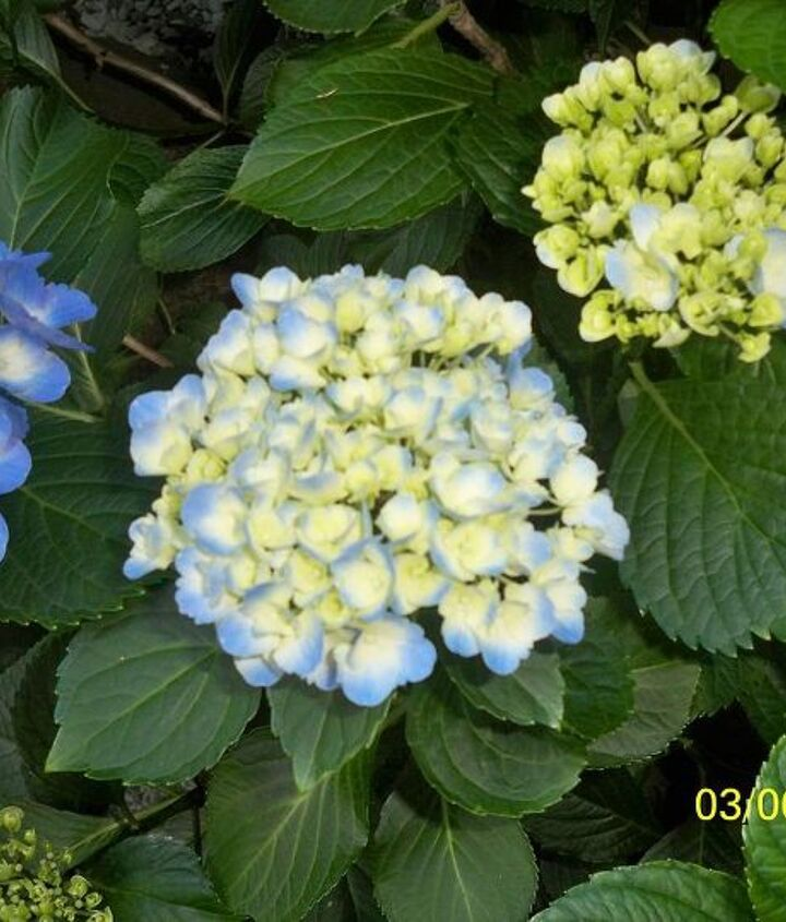 Same Hydrangea - 3 stems at various stages of opening.